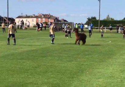 Futbol tarixində ilk: Stadiona alpaka girdi - VİDEO